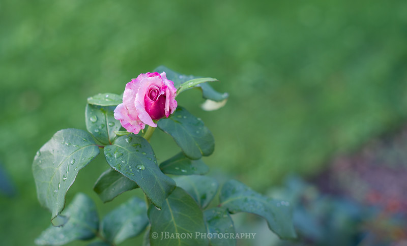 Pink Rose and Raindrops