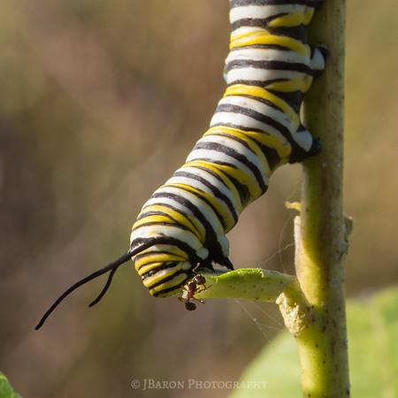 Caterpillar and Ant