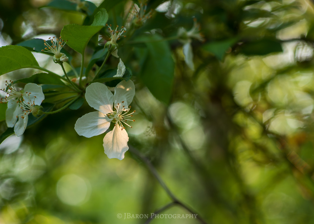 Spring Bloom and Bokeh