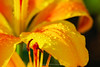 Raindrops on a Yellow Lily