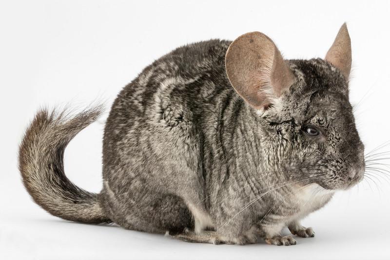 Short-tailed Chinchilla (Chinchilla brevicaudata)