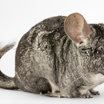 Short-tailed Chinchilla (Chinchilla brevicaudata)