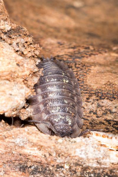 Pill Bug (Armadillidiidae)