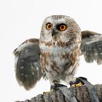Western Screech Owl (Megascops kennicottii)