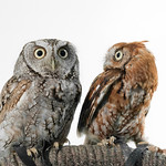 Eastern Screech Owls (Megascops asio)