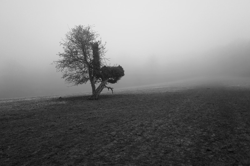 Tring Park Tree In The Mist