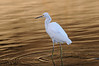 "snowey egret in ""liquid gold"". malibu lagoon"