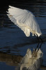 "snowey egret with fish in mouth, ""taking off"""