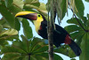 chestnut-mandibled toucan, Puerto viejo, costa rica
