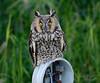 owl, loreto, baja
