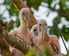 Young birds (Roseate spoonbils) in the nest.