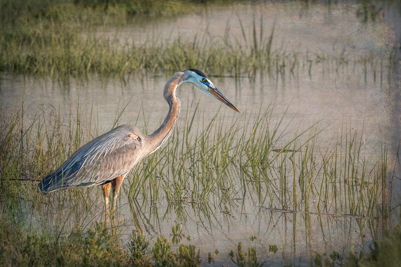 Great Blue Heron - Pinckney Island NWR