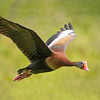 Black-bellied Whistling Duck - Pinckney Island NWR