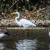 Centennial Lake - Geese and Egrets - 23 Oct 2016