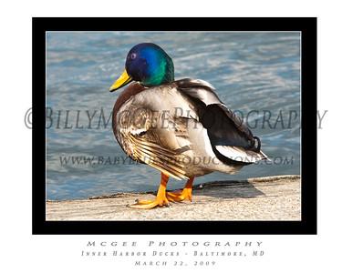 Inner Harbor Ducks - 22 Mar 09