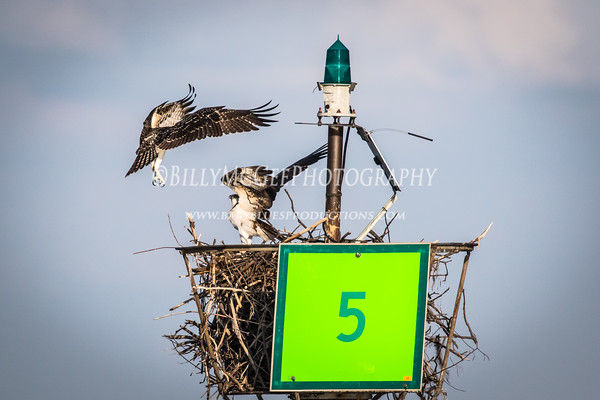 Osprey in Annapolis - 16 Jul 2015