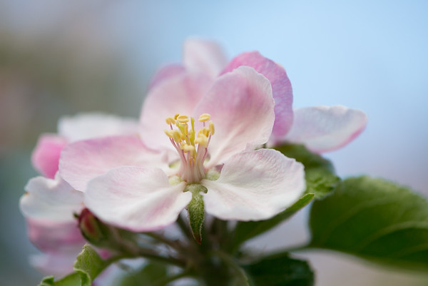 Apple blossom (21 of 28)