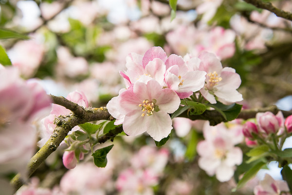 Apple blossom (1 of 28)