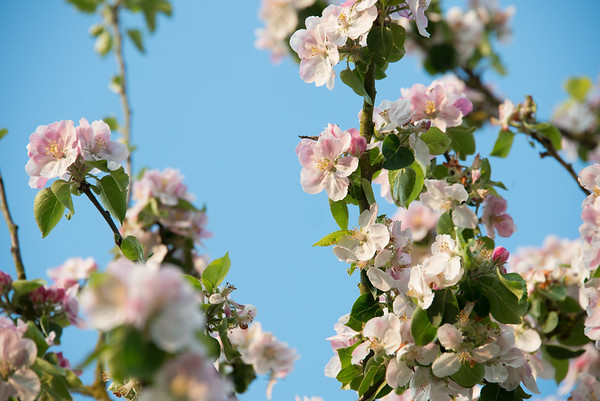 Apple blossom (3 of 28)