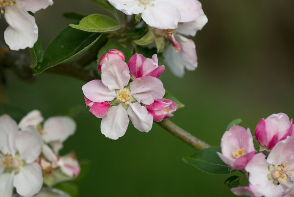 Apple blossom (18 of 28)