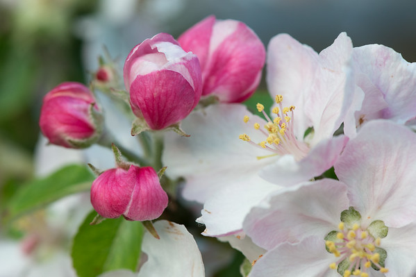 Apple blossom (10 of 28)