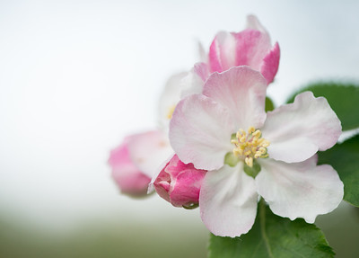 Apple blossom (14 of 28)