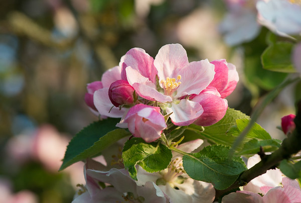 Apple blossom (4 of 28)