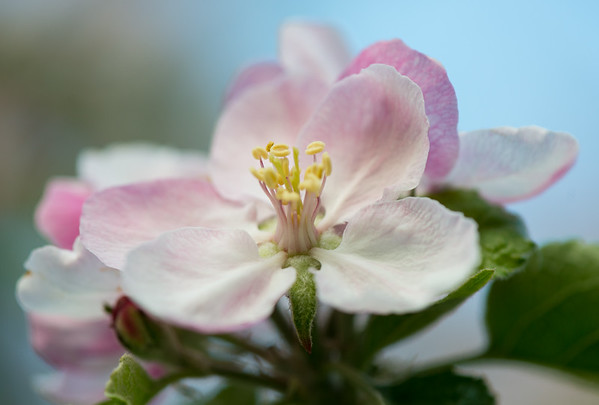 Apple blossom (20 of 28)