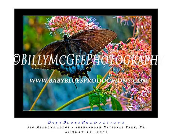 Butterflies 01