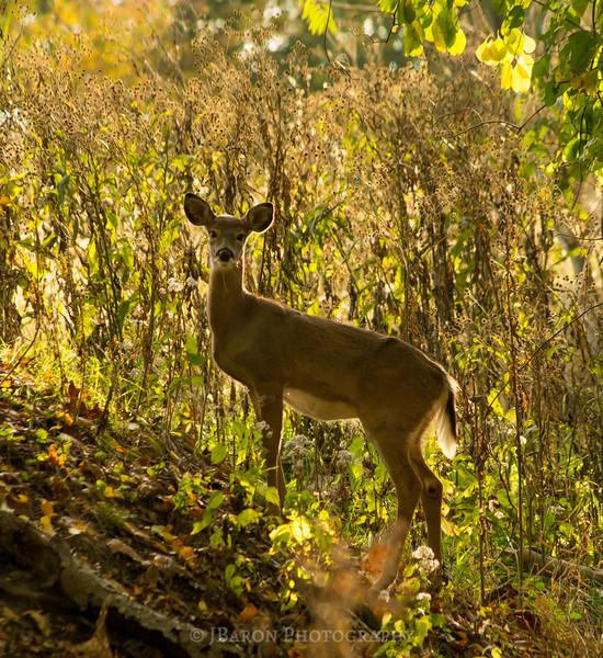 Deer at North Park II