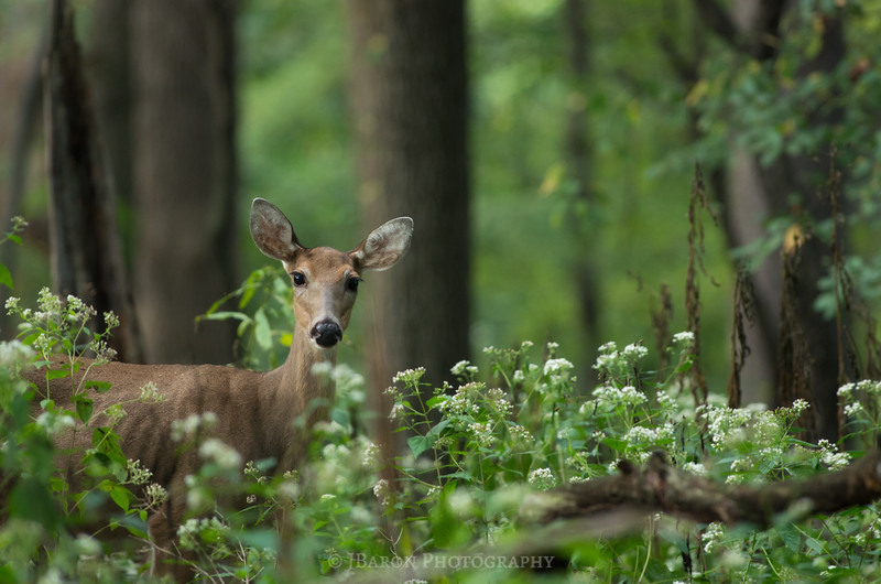 Deer Portrait at North Park