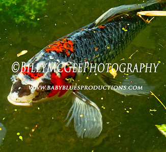 Winterthur Pond Fish - 01 May 2010