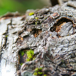 Birch Log with Moss
