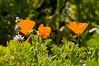 poppies, bolsa chica, orange county, CA