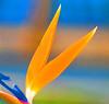 bird of paradise, santa monica, CA