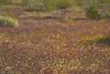 wildflowers, joshua tree state park, CA