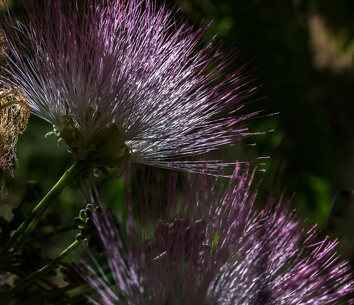 Silk Tree Flower