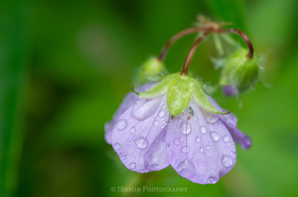 Water Drops on a Violet Flower