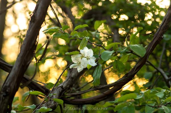 White Cherry Blossom and Sunset