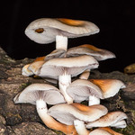 Magic Mushrooms (Psilocybe cubensis)
