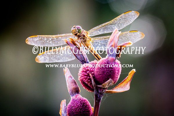 Brookgreen Gardens Dragonflies - 26 Aug 2014