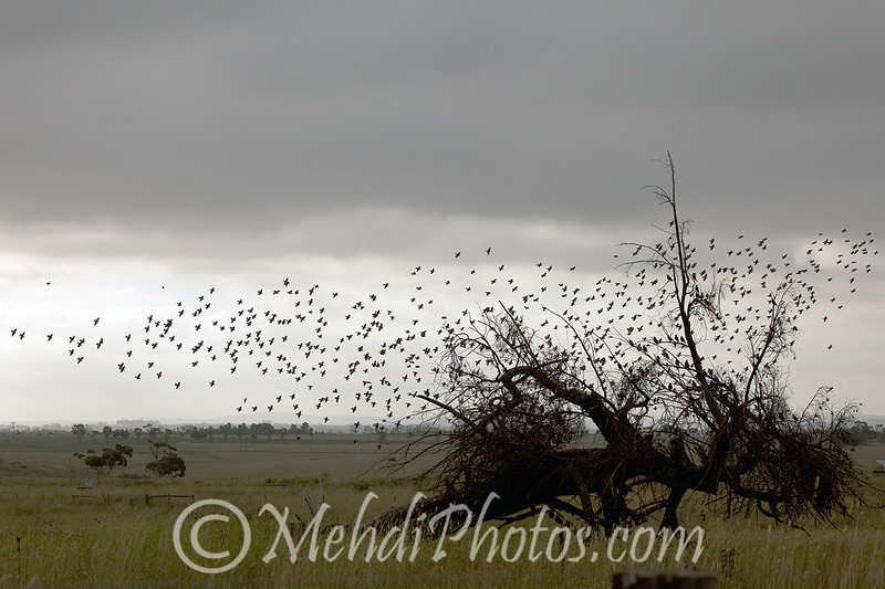 Flying Bird Flock close to Melbourne Airport.