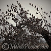 Bird Flocks, Melbourne Airport, Australia.