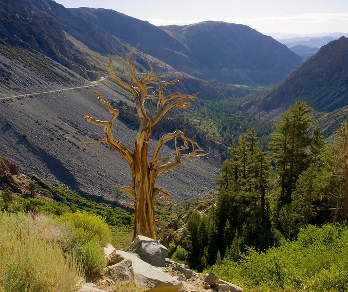 Dead Juniper in Upper Lee Vining Canyon  Copyright, ©2009, James McGrew
