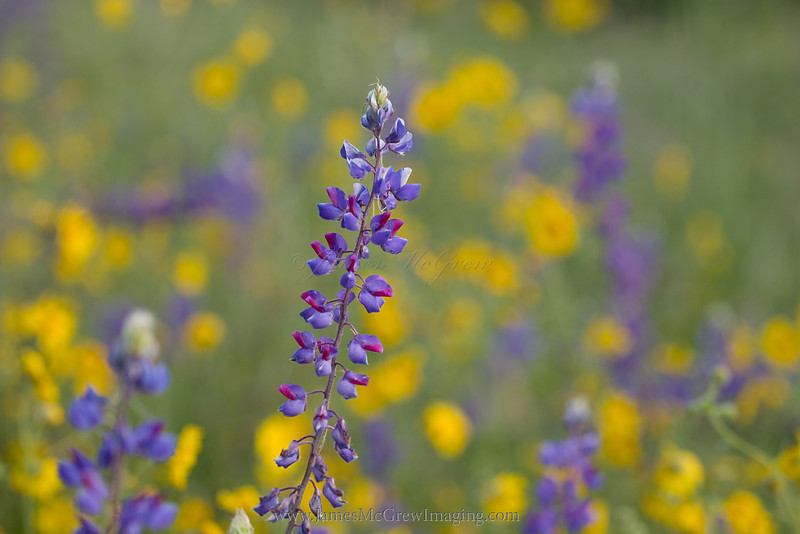 Spider Lupine and Common Madia perfectly compliment each other's colors.