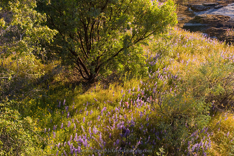 Manzanita and Lupine