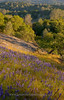 Lupine, granodiorite, manzanite, oaks and gray pine on the Striped Rock conservation easement.