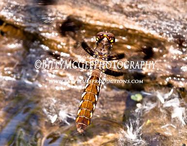 Dragonfly - 14 May 10