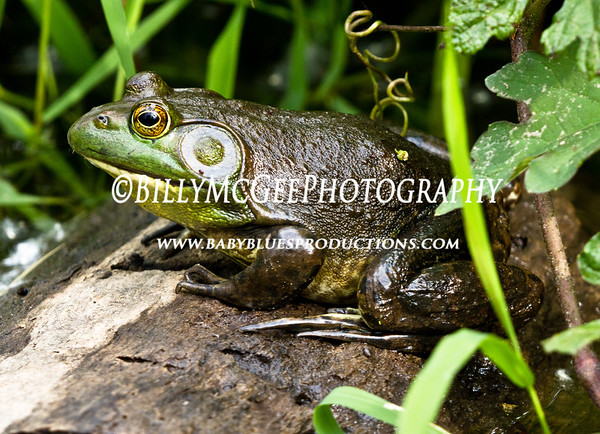 Frog-Sitting-On-Log - IMG-9318