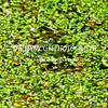 Frog-Hiding-In-Pond - IMG-5911